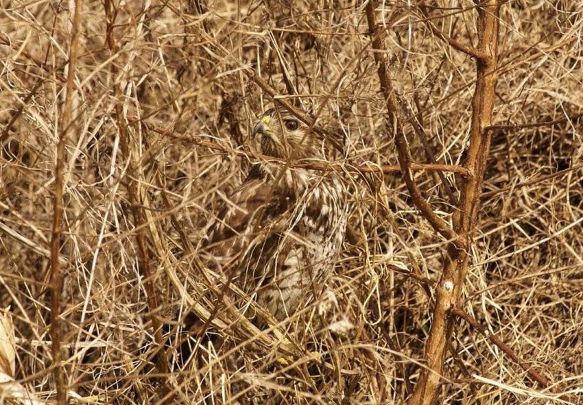 Красный ястреб Красный ястреб относится к семейству хищных птиц, поэтому во время охоты ему необходимо оставаться незаметным. Помогает ему в этом его окрас, делающий его невидимкой и позволяющий выслеживать добычу, оставаясь незаметным.
