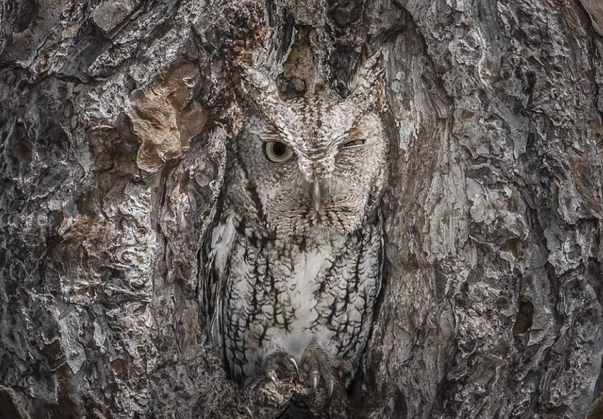 Сова В лесу сову легко можно услышать, но увидеть ее — задача непростая. Совы обладают достаточно тусклым окрасом с преобладанием серых и коричневых цветов, поэтому они сливаются с деревьями, в дуплах которых сидят.