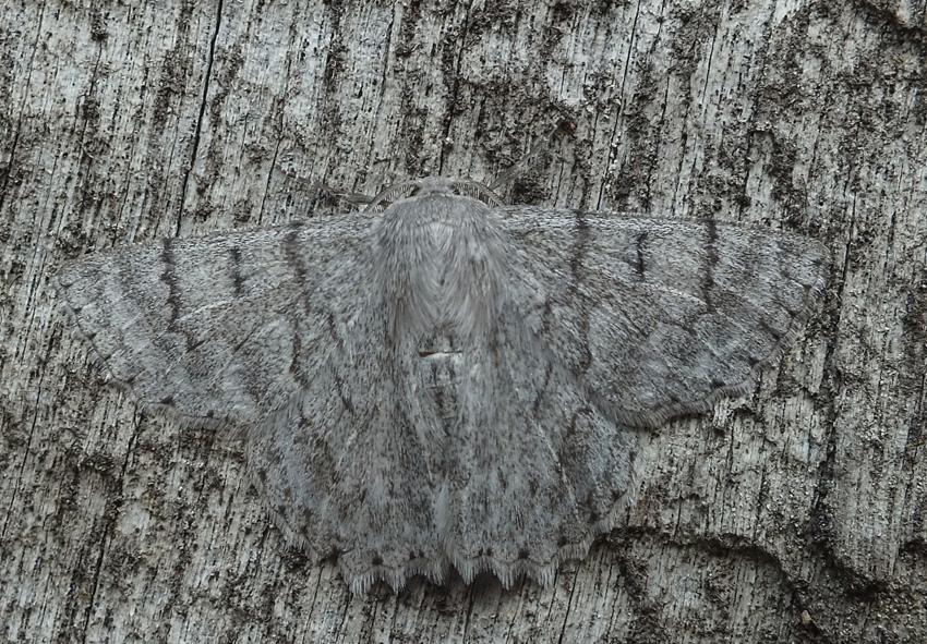 Ночные бабочки От дневных ночные бабочки они отличаются не только особенностями строения, но и окрасом. Как правило, в окрасе преобладают серые или коричневатые тона. В дневное время отдыхающую ночную бабочку трудно заметить, поскольку она фактически растворяется на фоне деревьев.