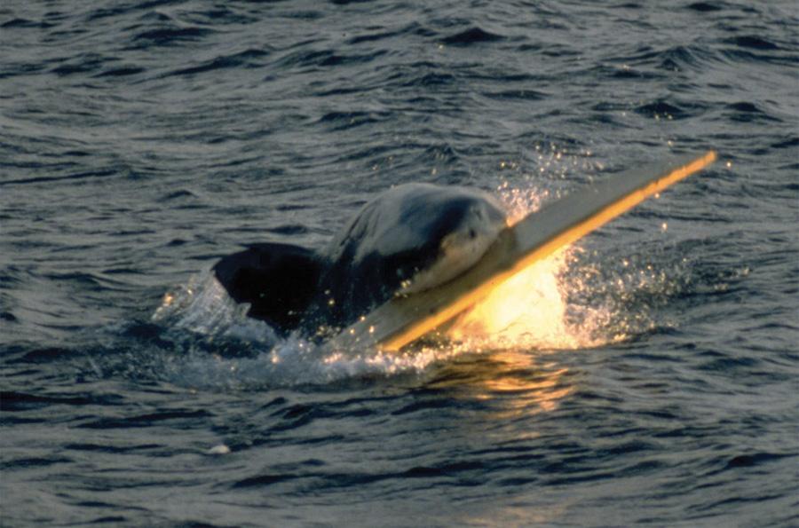 Красный треугольник, Калифорния Район у берегов Калифорнии также называют Красным акульим треугольником. Место как магнит притягивает тысячи больших белых акул. Приманкой для них служат многочисленные поселения тюленей, морских выдр и львов. Ежегодно здесь регистрируют несколько случаев нападения акул на людей — большинство случаев, зафиксированных на территории США, происходит именно в этом месте.