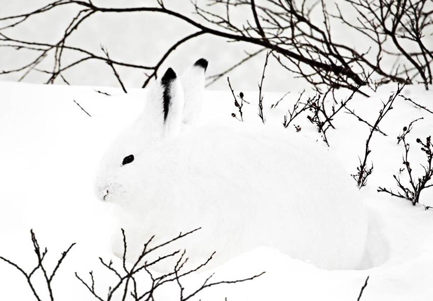Арктические животные Чтобы этим представителям животного мира было легче выживать в суровых условиях, природа наделила их подходящим к местности окрасом. Так, например, арктический беляк зимой окрашивается в белый цвет, благодаря чему зверьку легче спрятаться от врагов.