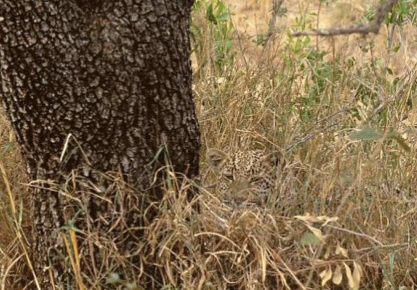 Леопард В зависимости от среды обитания тон окраски шкуры леопарда может изменяться от светлого до темного. Кроме того, каждая особь обладает своим, уникальным расположение пятен. У большинства животных общий тон окраса желтый с черными пятнами. Он позволяет им оставаться незаметными в сухой траве и выслеживать свою жертву.