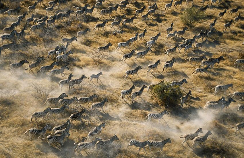 Как мигрируют животные Многие виды животных и насекомых мигрируют в течение года, сбегая от сезонной смены температуры и убывания жизненно важных ресурсов. Миграция может занять тысячи километров в одном только направлении, так как же животные повторяют этот путь туда и обратно год за годом? Каждый вид применяет различные навигационные инструменты, включая и такие, которые позволяют использовать возможности магнитного поля Земли. Животным они служат своего рода внутренним компасом. Ученые до сих пор не знают, каким образом может быть развита подобная способность или как животные из года в год определяют точное направление.
