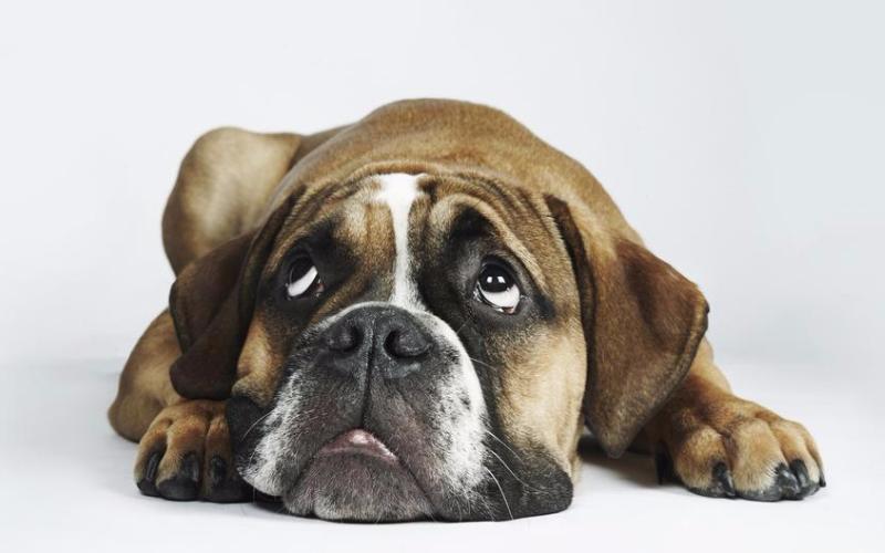 Суть эксперимента Этот эксперимент был разработан, чтобы узнать, могут ли собаки оценивать людей, взаимодействующих друг с другом через объект. Во время теста, собаки наблюдали за их владельцами, пытающимися достать рулон скотча из прозрачного закрытого контейнера, а потом обращающимися за помощью к сидящему рядом актеру.