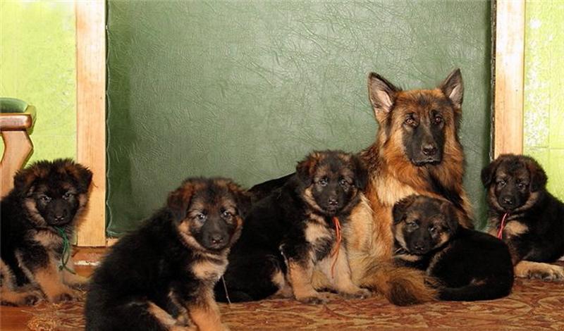 Второй этап Индивидуальность — вот, что выковывается в собаке начиная с возраста полутора месяцев. Этот этап может затянуться до полугода. Маленький щенок все больше выделяет себя из числа себе подобных, приходит понимание своего «Я». Здесь нужно правильно корректировать излишнее дружелюбие собаки: в этом возрасте она может не бояться агрессии со стороны представителей своего вида, которые будут, при необходимости, ограждать щенка от опасности, и, впоследствии, спроецировать подобное отношение на всю дальнейшую жизнь. Нужно суметь построить характер собаки так, чтобы она не потеряла этого дружелюбия, но и не стала чрезмерно мягкой. Это может повредить псу во взрослой жизни, ведь, как и у других животных, у собак ценится сила и самодостаточность.