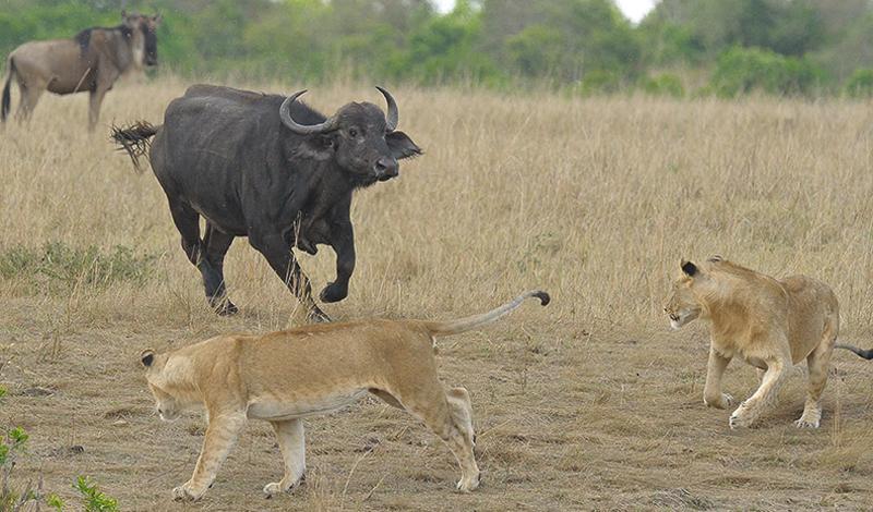 Африканский буйвол Количество смертей в год: несколько десятков человек Несколько центнеров веса и абсолютно непредсказуемый характер: повстречать африканского буйвола в саванне опасаются даже самые опытные охотники. Но хуже всего столкнуться с одним из огромных стад этих животных — с тропы этой живой лавины предпочитают загодя убраться и слоны, и африканские львы.