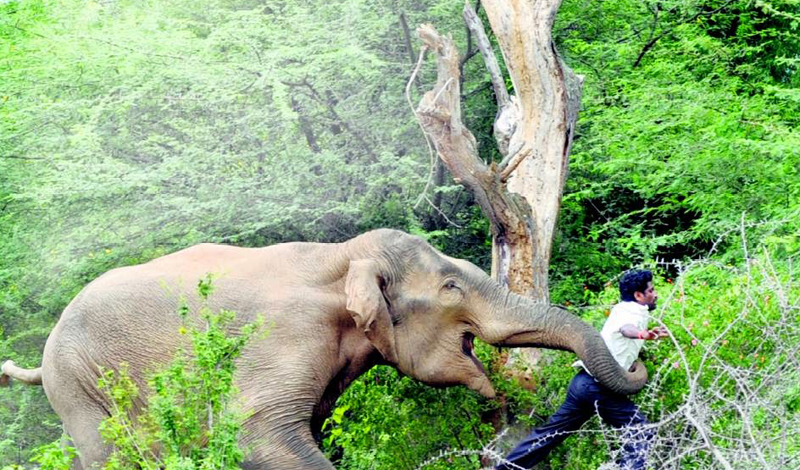 Слон Количество смертей в год: более пятиста человек Все мы помним милый мультик про слоненка Дамбо, научившегося летать и открывшего свой цирк. На самом деле, далеко не все слоны отличаются подобным дружелюбием. Африканский слон, весящий несколько тонн, предпочитает давить противника массой: такие убивают до тысячи человек в год — просто защищая свою территорию.