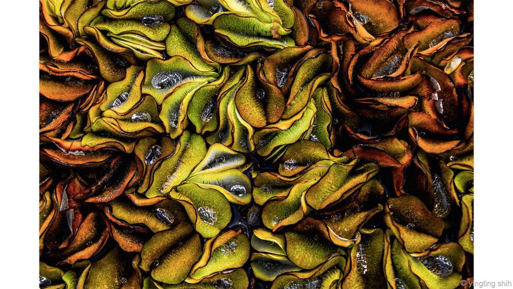 Жемчужина Победитель в категории «Искусство природы» Йентинг Ши Карибский сорняк с каплями воды смотрится почти так же, как раковины с жемчугом. Сюжет для съемки Йентинг нашла в пруду на старой чайной фабрике в Таоюань, Тайвань.