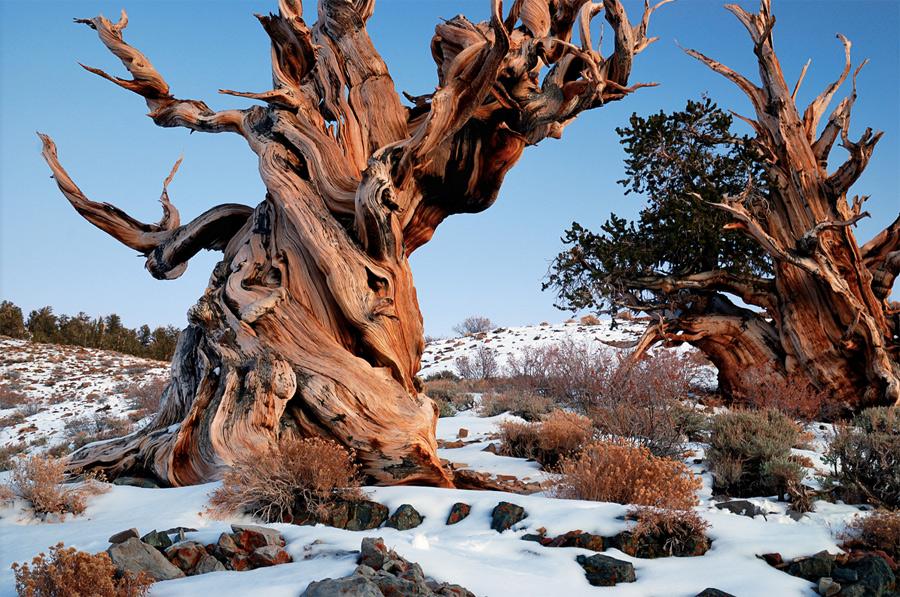 Сосна Бристлекон Эти деревья росли еще тогда, как на месте современной Турции располагалась Троя. Сосна Бристлекон считается одним из самых старых деревьев на нашей планете. У дерева отсутствуют признаки мутационного старения. На клеточном уровне даже старые, корявые деревья выглядят как молодые. Посмотреть на долгожителей можно в национальном парке Иньо в Калифорнии, США.