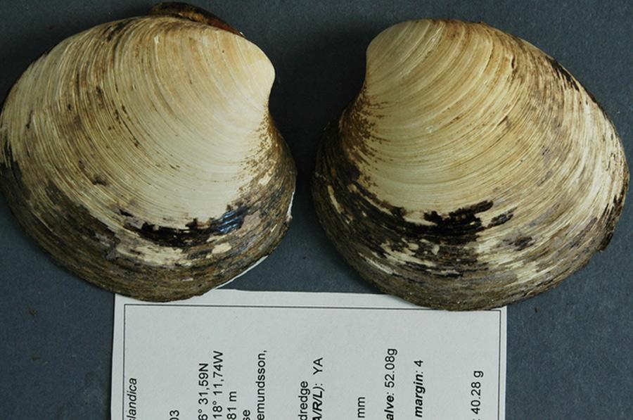 Моллюск Мин Подсчитав количество годичных колец роста на оболочке выброшенного на берег Исландии в 2006 году моллюска, ученые обнаружили, что он старее их всех, и дата его рождения приходится примерно на 1499 год. Возраст моллюска был также подтвержден данными радиоуглеродного анализа. Таким образом было установлено, что в соответствующих условиях на дне океана моллюски вида Arctica islandica семейства венеридов могут жить несколько сотен, а то и тысяч лет.