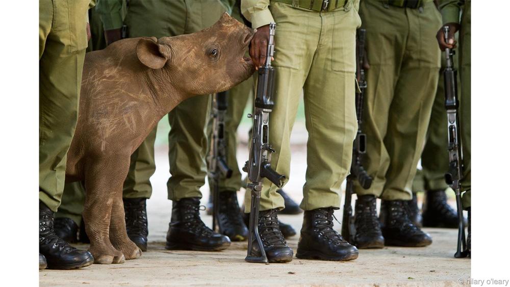 Мир в наших руках Победитель в категории «Сохранение» Хилари О'Лири Незаконная охота на черных носорогов привела к тому, что вид был признан вымирающим. Этот детеныш черного носорога был найден истощенным и обезвоженным. Маленького носорога доставили в заповедник Malilangwe в Зимбабве. Рейнджеры будут ухаживать за ним, пока носорог не подрастет.