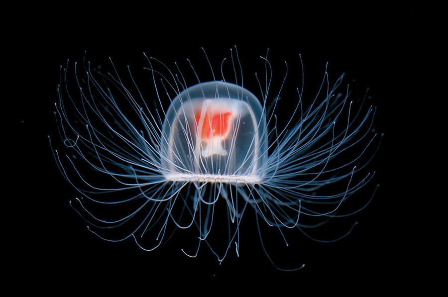 Медуза Медузы вида Turritopsis nutricula могут управлять собственными генами. В момент опасности они меняют стадию развития и возвращаются к первоначальному состоянию, из которого потом вновь начинают расти, так же, как если бы бабочка вновь превратилась в гусеницу. Этот же механизм они используют достигнув зрелости: трансформируются в полип, а затем снова превращаются в медузу. Естественной смертью они не умирают и могут погибнуть лишь от встречи с хищником.