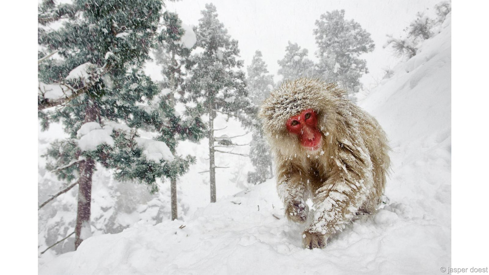 Снежная обезьяна Победитель в категории «Земная фауна» Даспер Дост В жизни японских макак много и других интересных моментов, кроме как отмокать в горячих источниках. Один из них и запечатлел фотограф Даспер в парке Дзигокудани, Япония.