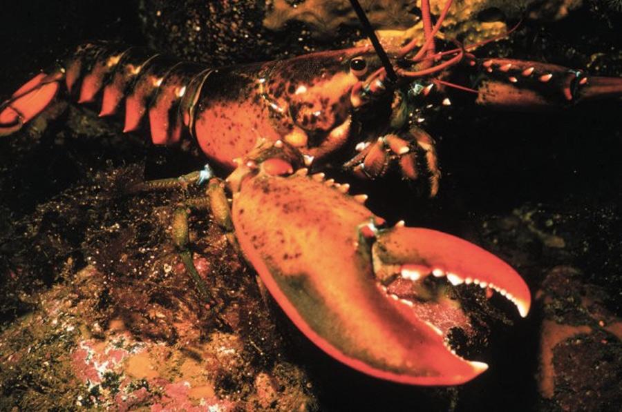 Американский омар Эта разновидность омаров обладает самовосстанавливающимся ДНК. Особый фермент под названием теломераза не позволяет им стареть. По оценкам ученых, возраст самого старого найденного омара составляет 140 лет, при этом у него не было обнаружено каких-либо признаков старения. Считается, что американские омары биологически бессмертны, а умирают они от внешних причин.