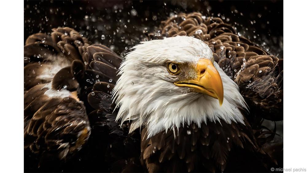 Стряхнуть с себя Победитель в категории «Крылатые» Майкл Пакис После спасения трех раненых белоголовых орланов, птиц оставили в зоопарке Мемфиса, штат Теннесси. Во время посещения вольера с птицами Майкл заметил, как одна из них окунает голову в воду, а потом отряхивается подобно собаке.