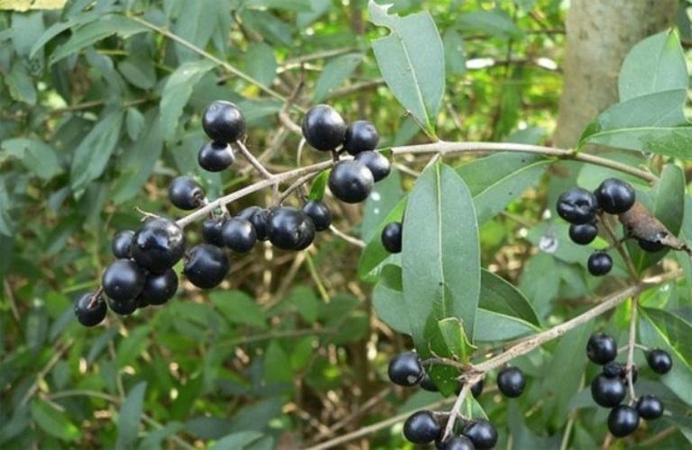 Бирючина или волчьи ягоды Ягоды созревают в сентябре–октябре и долго остаются на ветках кустарника. Черные или темно-синие плоды содержат ядовитые вещества, действие которых проявляется уже спустя пару часов после употребления ягод. При отравлении плодами бирючины возникают боли в животе, рвота, поражаются почки и нарушается сердечная деятельность.