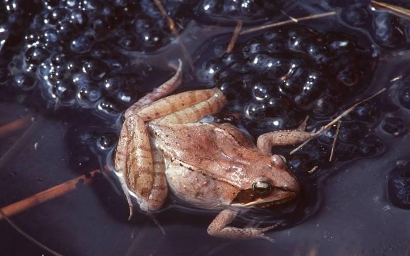 Древесная лягушка Древесная лягушка может заморозить собственную кровь при наступлении зимы и перейти в спящий режим. Весной лягушки оттаивают и, как ни в чем не бывало, возвращаются к полноценной жизни. Конечно, она не может замораживать врагов, как мистер Фриз, но она хотя бы делает верные шаги в этом направлении.