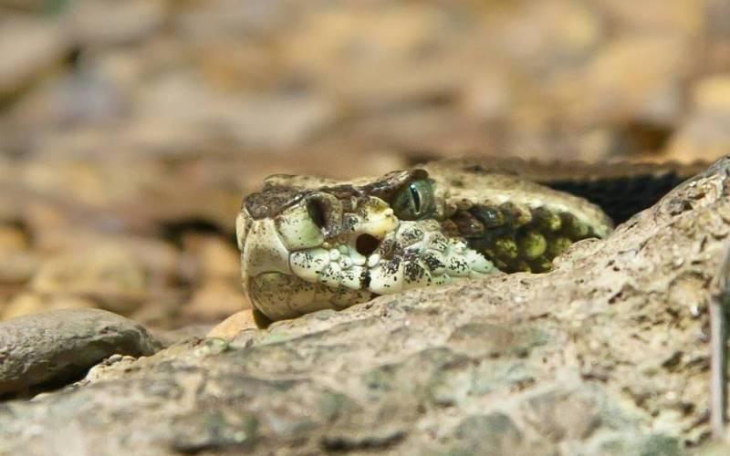 Змеиный остров, Бразилия Кеймада-Гранди – необитаемый остров у берегов Бразилии. Люди боятся жить здесь и не зря. Остров выбрала своим домом змея островной ботропс – один из самых ядовитых видов гадюк на планете. Кеймада-Гранди признано одним из самых опасных мест на Земле. Считается, что на каждый квадратный километр острова приходится по одной смертельно опасной змее.