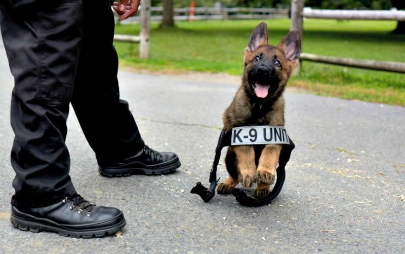Начинать надо сызмальства Наиболее обучаемыми являются щенки возрастом до одного года. После своего первого дня рождения собаки укореняются в своих привычках и не так охотно соглашаются их менять. До этой отметки собаки энергичны, что позволяет работать с ними дольше, не боясь, что они устанут, и охотно выполняют любые команды.