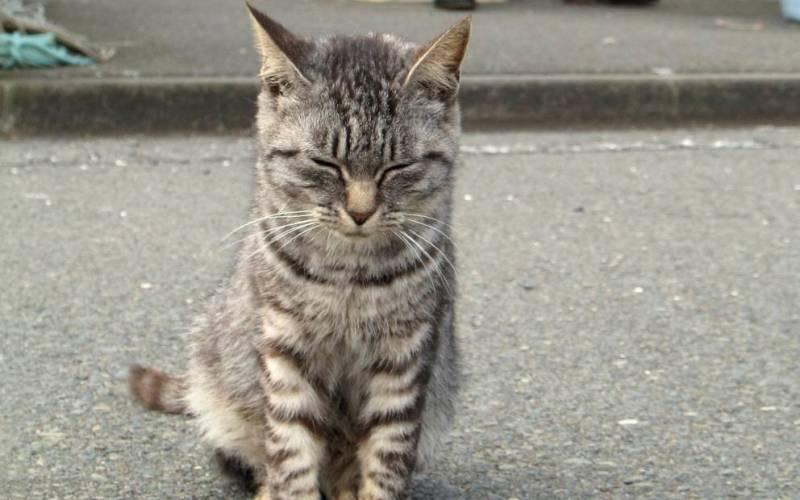 Кошачий остров, Япония У берегов Японии расположено 11 небольших островов, где всем заправляют полудикие кошки. Остров Тасиро самый известный из них. Здесь проживают всего около ста человек, которым категорически запрещено заводить собак. Средний возраст жителей составляет порядка 70 лет. Кошки были завезены сюда с целью истребления мышей, мешавших нормальному разведению шелковичных червей. Позже, когда проблема была решена, жители острова заметили, что коты прекрасно предсказывают штормы и цунами, и в благодарность за их сверхспособность, разрешили жить на острове, как им заблагорассудится.