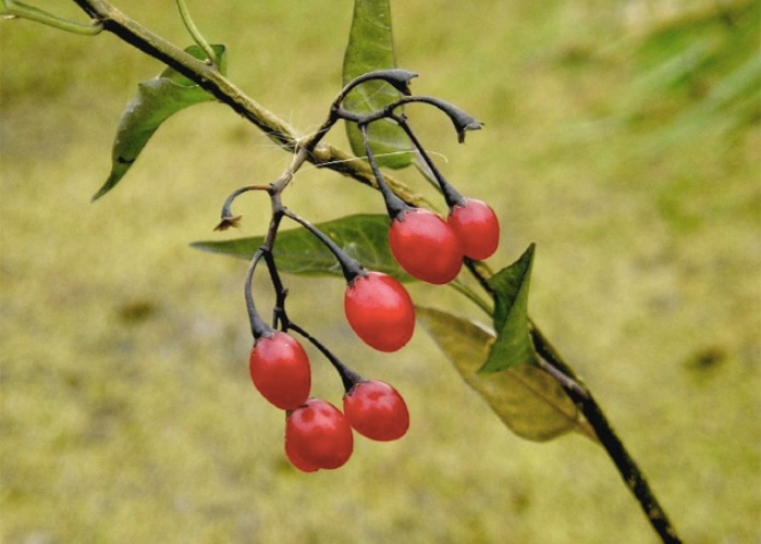 Паслен сладко-горький Полукустарник цветет с конца мая по сентябрь. В июне-октябре созревают плоды паслена, представляющие собой красные ягоды. Они, как и стебель, и листья, являются ядовитыми. Ягоды паслена сладко-горько не едят даже животные. В его растениях содержатся гликоалкалоиды соланина, солидульцин, дулкамарин и другие ядовитые вещества, которые могут вызвать отравление. Проявляется оно в виде болей в животе, тошноты, рвоты, затруднении дыхания и сердечно-сосудистой недостаточности.