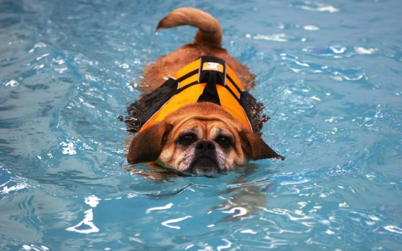 Плавание Прикажите вашей собаке остаться на берегу и проплывите с минуту вольным стилем. Подзовите пса и плавайте по-собачьи на месте, пока собака достигнет вас. Опять прикажите ейостаться на месте и уплывите еще чуть дальше. На этот раз делайте ногами ножницы и сильно отталкивайтесь руками от воды, пока собака не подплывет. Повторите всю серию еще раза 3-4 и плывите вместе с собакой обратно к берегу, где вы сможете отдохнуть.
