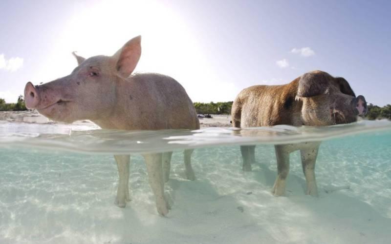 Свиной остров, Багамы На острове Сау, больше известном как Свиной остров, живет беспечной жизнью богатых бездельников целое семейство свиней. На острове, обнаруженном только в 2009 году, идеальные условия для этих неприхотливых животных: здесь множество источников пресной воды, не бывает сильных штормов и нет хищников, а с недавних пор, так еще и туристы начали подкармливать. Как сюда попали свиньи точно неизвестно, по одной из версий, их здесь умышленно в далеком прошлом оставили моряки, чтобы иметь на острове самовосполняющийся источник пищи. К счастью для свиней, никто уже не собирается их есть.