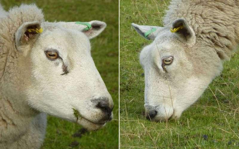 Зачем травоядным горизонтальный зрачок Чтобы выяснить, какие преимущества это дает животным, исследователи использовали компьютерное моделирование, имитирующие глаза овцы. Выяснилось, что горизонтальный зрачок улавливает больше света боковыми частями глаза, и меньше – верхней и нижней частями. Это позволяет пасущимся животным быстрее замечать хищников, заходящих с разных сторон. Был зарегистрирован еще один любопытный факт: когда овца наклоняла голову к земле, ее горизонтальные зрачки сделали поворот на 50 градусов. Так, глаза овцы остались параллельны земле, что позволяет ей и дальше наблюдать за тем, что происходит вокруг. То же самое явление характерно и для глаз других пасущихся животных, таких как антилопы и лошади.