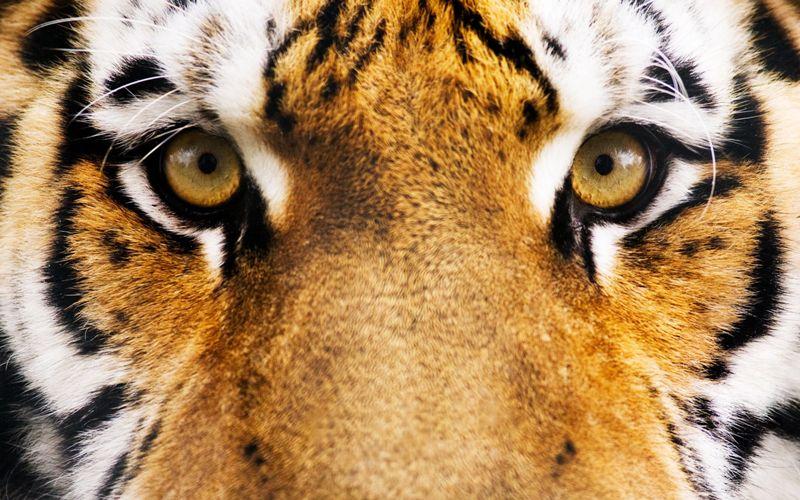 Вертикальные зрачки в помощь хищникам Когда исследователи смоделировали типичный вертикальный зрачок хищника, они поняли, что такое устройство глаза помогает животному в засаде лучше оценить расстояние до жертвы, обостряя пространственное зрение и фокусировку на цели. Авторы исследования обратили внимание на тот факт, что крупные хищники, такие как львы или тигры, имеют круглый зрачок, прямо как у человека. Это связано с высоким ростом этих больших кошек, который позволяет им получать больше зрительной информации и без вертикального зрачка.