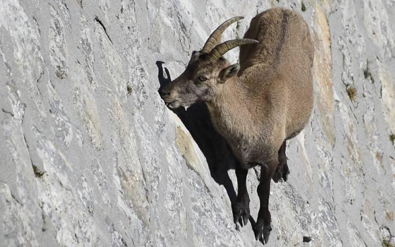 Альпийский горный козел ибекс Горные козлы ибексы могут запросто карабкаться по стенам, не прибегая к сверхспособностям Человека-паука. Так-то, Питер Паркер.