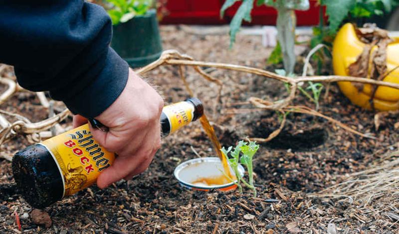 Убийство слизней В дождливую погоду слизняки становятся самым настоящим бедствием для сада. Расставьте несколько вкопанных в землю баночек, наполненных пивом. Слизняки сползутся на запах и утонут в нем. Главное, помните: это пиво уже не стоит пить.