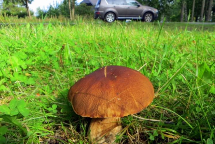 Не в то время, не в том месте У грибов есть одна уникальная способность – они как пылесос вытягивают из почвы и накапливают в себе разные вещества, которые в ней содержатся, в том числе тяжелые металлы и радионуклиды. Когда почва сильно загрязнена, концентрация вредных веществ, аккумулированных растущим на ней грибом, может быть в десятки раз выше, чем в окружающей среде. Поэтому, чтобы вместе с грибом не пробовать еще и ассорти из нижних строк таблицы Менделеева, не рекомендуется промышлять тихой охотой вдоль автомобильных и железных дорог, вблизи свалок и промышленных предприятий.