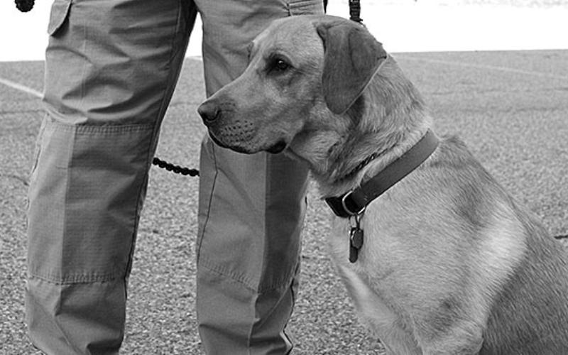 Не существует понятия – плохая собака Подготовка полицейских собак к работе в полевых условиях занимает от 9 месяцев до года. Гиперактивные собаки, которых многие зазря считают плохо обучаемыми, способные научиться новым трюкам гораздо быстрее своих менее энергичных сородичей. Если дать им конкретную цель, они вложат в ее выполнение все свои силы и справятся лучше. Здесь все в большей степени зависит от стараний и выдержки кинолога.