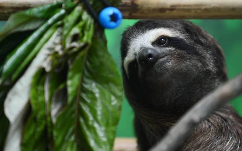 Ленивцы из Коста-Рики Технически, Коста-Рика, конечно, не остров, но было бы несправедливо не включить это место в наш список. В Центре The Sloth Sanctuary сделали то, чего вы не встретите нигде больше в мире: здесь устроили приют для ленивцев. Более 150 детенышей этих удивительных млекопитающих, оставшихся без матери или получивших травму, получают здесь необходимый уход и заботу.
