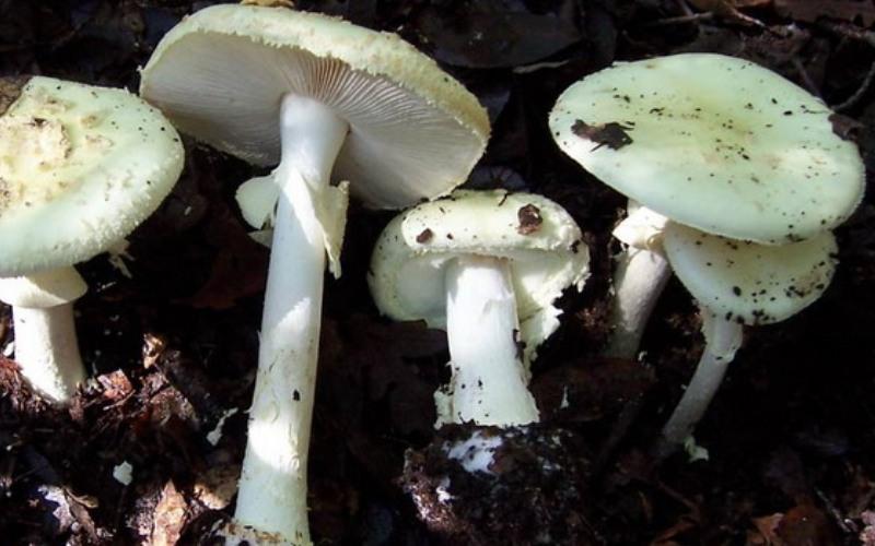 Мухомор поганковидный Встречается: с середины августа по середину сентября Некоторые считают этого кузена бледной поганки условно-съедобным грибом. Однако учеными были выявлены яды, которые содержатся во всех частях его тела. Шляпка поганковидного мухомора покрыта крупными белыми чешуйками и достигает до 10 см в диаметре. Цвет шляпки нежного кремового цвета. Ножка длинная тонкая белого цвета, имеется плотное кольцо, которое темнее оболочки ножки и мякоти. Мякоть издает запах чем-то схожий с ароматом свежеочищенного картофеля.
