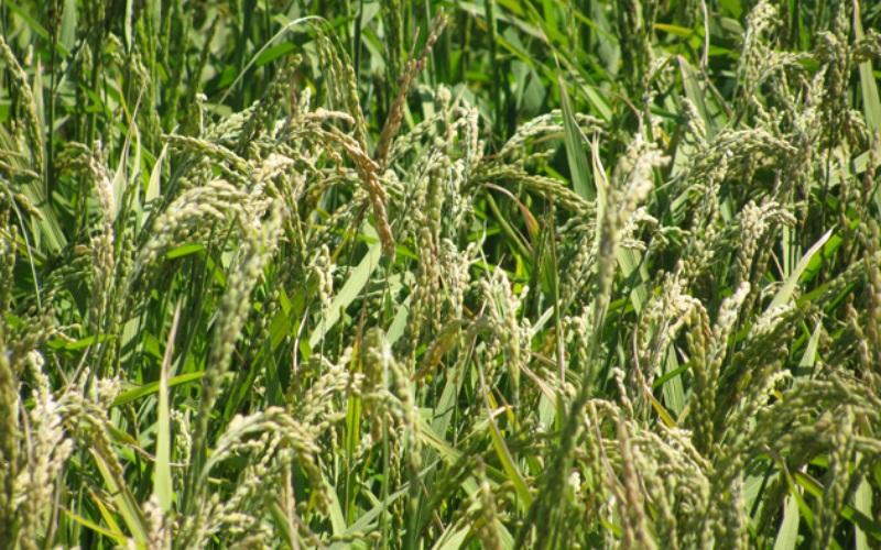 Рис От диких переходим к совсем окультуренным растениям, из которых не только можно, но и нужно делать муку, когда такая возможность есть. Рисовая мука, которая, кстати, также безглютеновая, например, занимает ведущее место по биологической ценности белка и содержанию крахмала. Хлеб, блины, лепешки и прочие блюда из рисовой муки по определению не могут вызвать аллергических реакций или навредить пищеварению. Из чего молоть муку, думаем, объяснять не надо, но вот совет, который точно пригодится: при приготовлении теста добавляй больше воды, так как рис забирает очень много влаги и сильно сушит конечный продукт.