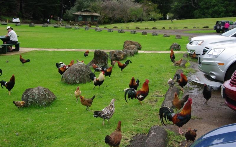 Куры с острова Кауаи, Гавайи Куры попали на Гавайские острова около двух тысяч лет назад. Они приплыли сюда вместе с полинезийцами, прославленными моряками древности. Куриц выращивали ради мяса и яиц, а петухов для боев. В 1992 году идиллию нарушил ураган Иники, разразившийся над Гавайскими островами. Ударив со всей возможной силой по Кауаи, шторм разбросал куриц по всему острову. Почуяв свободу, птицы поперескрещивались с дикими сородичами и быстро расплодились. Гавайцы даже не пытаются их ловить и наставлять на путь истинный: мясо диких кур абсолютно безвкусно. Птицы, которых все оставили в покое, чувствуют себя на острове совершенно вольготно, и мешают людям, заполняя дороги, пляжи и площадки для гольфа.