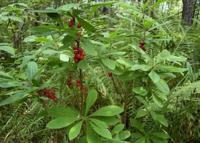 Волчья ягода или волчье лыко Этот невысокий кустарник с узкими листочками не такой безобидный, как кажется. Кора, листья, цветы, плоды — все они ядовиты. Пыльца цветов приводит к раздражению слизистых оболочек дыхательных путей. Сок растения, попав на кожу, вызывает язвы и дерматит. Осмелившимся же попробовать ягоды, которые созревают в августе-сентябре, обеспечено жжение во рту, тошнота, рвота, возможны судороги и повышенная кровоточивость.
