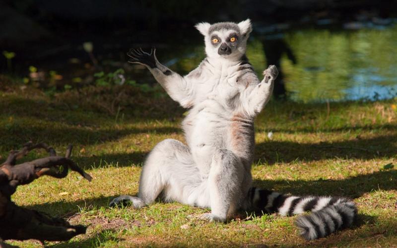 Лемуры Мадагаскара Эти очаровательные приматы обитают только наМадагаскаре, острове, расположенном вблизи Африки, и на Коморских островах. Лемуры, коих на Мадагаскаре насчитывается около ста видов, стали символом острова. В первую очередь, конечно, на это звание претендует кошачий лемур или катта, известный всем по серии мультфильмов «Мадагаскар».