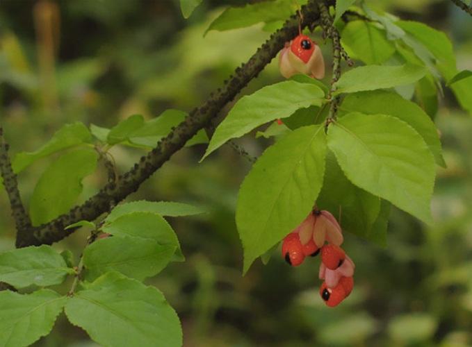 Бересклет бородавчатый Бересклет бородавчатый относится к ядовитым растениям. Есть нельзя даже листья, не то что плоды. Сладковатые ягоды, созревающие во второй половине августа, вызывают рвоту, диарею, озноб и судороги, а также нарушение сердечной деятельности.