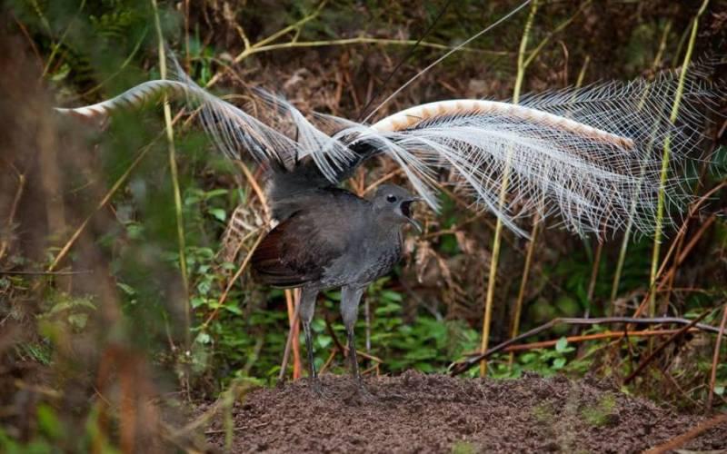 Лирохвосты Лирохвосты обладают самыми совершенными голосовыми связками на всей планете и могут имитировать практически любой звук.