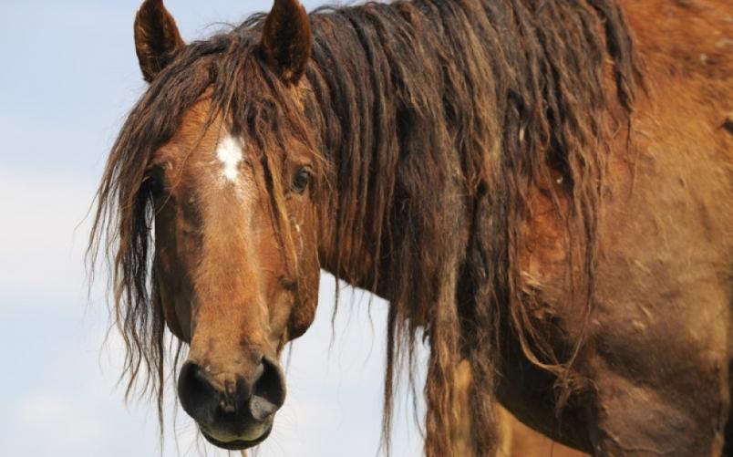 Остров диких лошадей На острове Водный на озере Маныч-Гудило в Ростовской области живет в изоляции от внешнего мира табун диких лошадей. Явление это уникальное, в мире обнаружено лишь несколько крупных табунов диких лошадей: на островах Ассатиг и Чинкотиг в штате Виргиния, США, и на острове Сейбл в Канаде. Как на остров Водный попали лошади неизвестно, да это не так уж и важно. Для ученых интереснее другой факт: как мустанги, более 50 лет скрещивающиеся между собой, не имеют никаких признаков вырождения? Но это только предстоит выяснить.