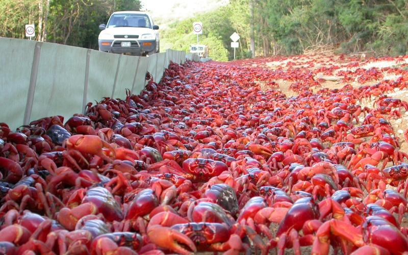 Крабы с острова Рождества, Австралия Остров, названный в честь главного праздника всех христиан, действительно выглядит очень нарядно, но, к сожалению, только в ноябре. Красные крабы, для которых этот остров – дом родной, на фоне зеленой растительности напоминают рождественскую гирлянду на елке. Учитывая, что численность людского населения составляет всего 2000 человек, а количество крабов каждый год переваливает за несколько десятков миллионов, понять выражение «кишмя кишит» можно проще простого.