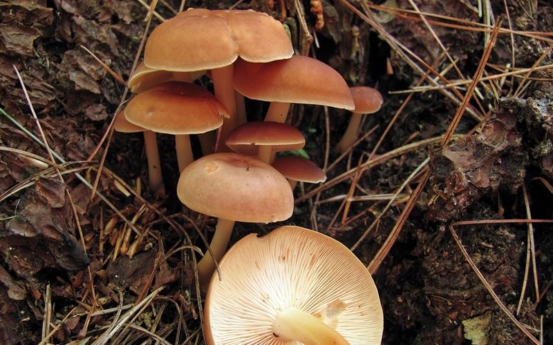 Гимнопилус прекрасный Встречается: с конца июня по середину сентября На вид этот лесной обитатель и правда довольно красив, но пробовать его на вкус или даже прикасаться нельзя ни в коем случае. Его мякоть содержит внушительное количество дурманящих и галлюциногенных веществ. Попав под воздействие коварного гриба, вы легко можете закончить столь весело начавшийся поход по грибы в ближайшем болоте или непроходимой тайге. Гимнопилус не растет по одиночке, огромные колонии могут простираться на десятки метров вокруг центра грибницы. Формой и окраской гимнопилус похож на съедобные чешуйчатки, однако у пригодных в пищу грибов более крупное плодовое тело и широкое кольцо на ножке.