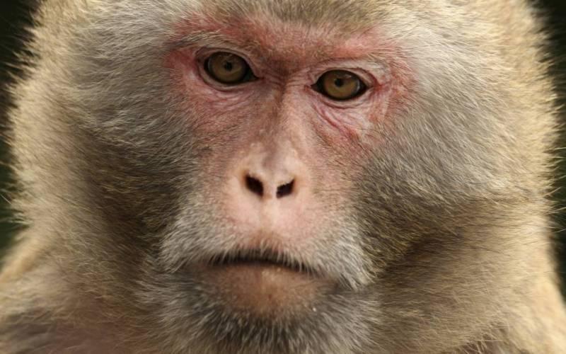 Обезьяны с острова Морган В 1979 году, вирус герпеса В проник в лабораторию в Пуэрто-Рико, где держали подопытных обезьян. Чтобы спасти животных, несколько сотен макак-резус поселили на острове Моргана, неподалеку от побережья Южной Каролины. На сегодняшний день на острове обитает свыше четырех тысяч обезьян. Им разрешено свободно бродить по всему острову, и только ученые, берущие анализы, вмешиваются в их беззаботную жизнь.