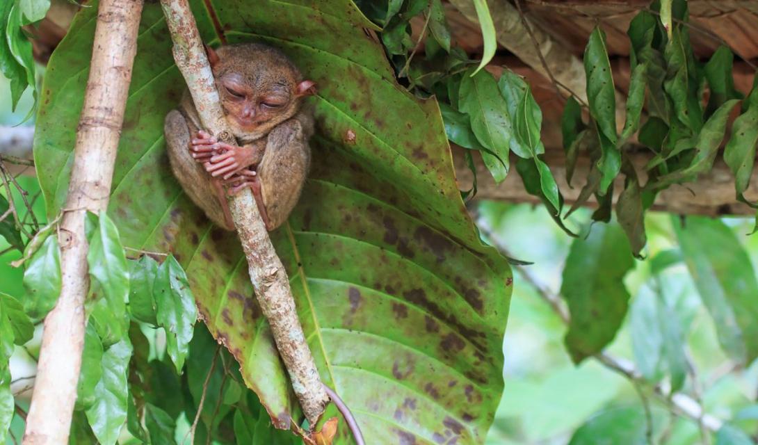 Эти небольшие глазастые приматы живут обычно в Юго-Восточной Азии — но конкретно этот решил немного попутешествовать.