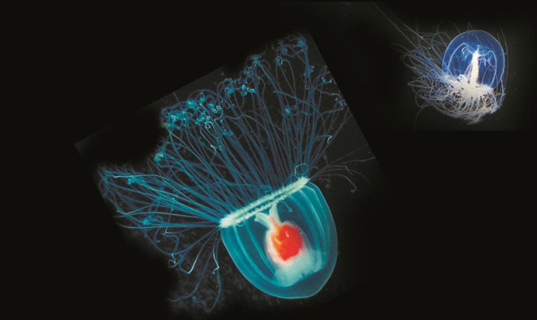 Что это такое Малая медуза Turritopsis dohrnii обладает диаметром купола всего в 4,5 мм. Собственно, этот вид можно назвать некой разновидностью зоопланктона, с которым и предпочитает мигрировать медуза. Впервые ученые открыли Turritopsis dohrnii еще в начале этого века, а несколько лет назад пришли к удивительному выводу: она может жить вечно.