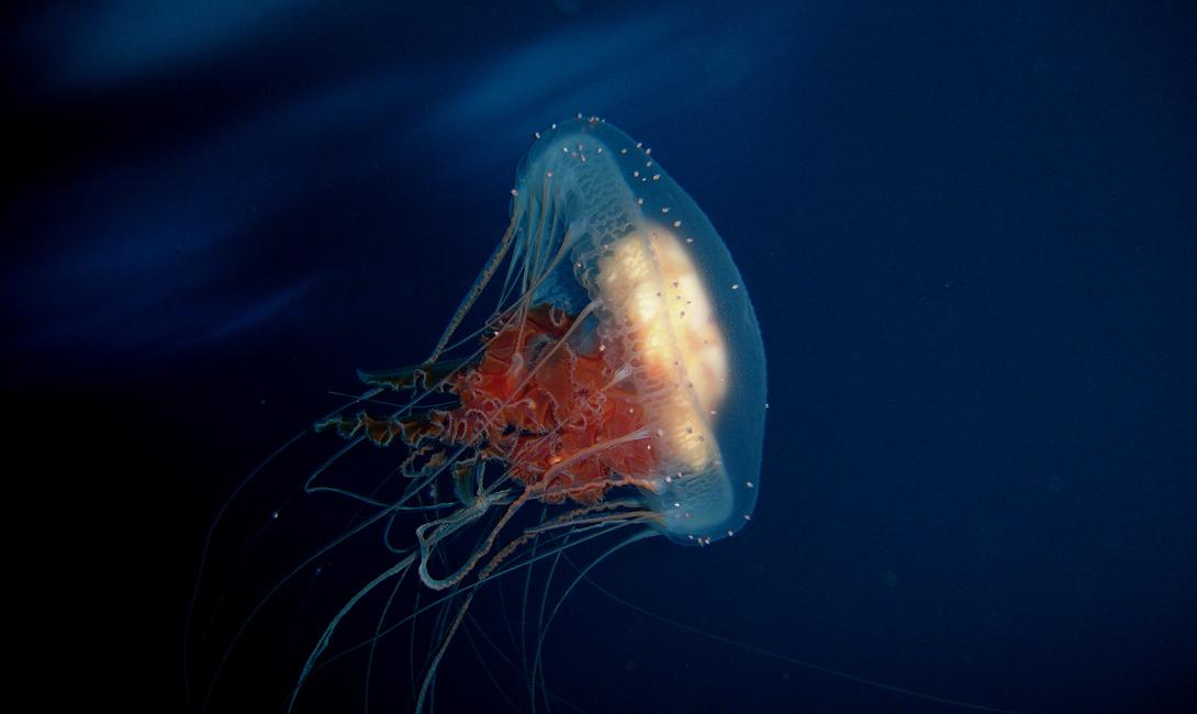 Где обитает Вид зародился в Карибском море, но давным-давно распространился буквально на весь земной шар. Turritopsis dohrnii обнаруживали и в Средиземном море, и у японских берегов. Ученые из Смитсоновского морского института говорят, полушутя, что эта медуза — начало космического вторжения. В каждой шутке, конечно, есть доля шутки: второго такого организма на Земле просто не существует.