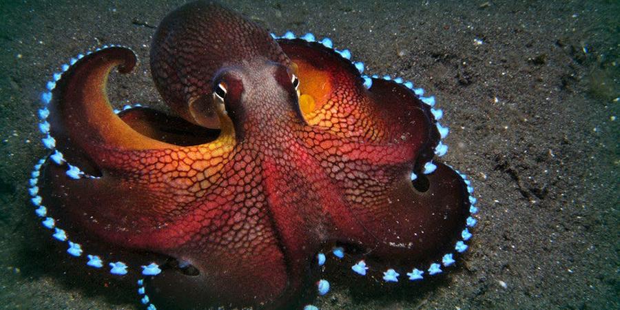 Интеллект Доктор Сидней Бреннер, из Института Окинава, уверен, что осьминоги были самыми первыми разумными существами на планете. Кроме того, интеллект осьминога развивался гораздо более высокими темпами, чем разум окружающих его животных. Никто до сих пор не может понять, почему столь быстрая эволюция остановилась так внезапно.