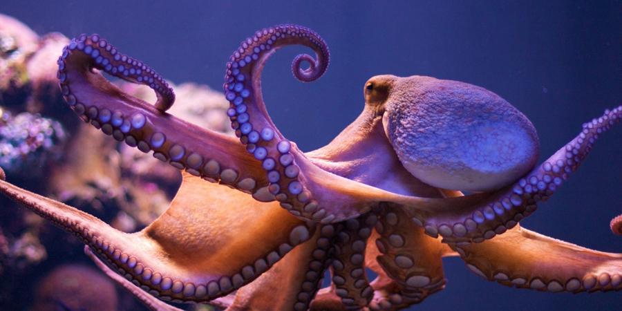Разумные конечности Путем нехитрых экспериментов, ученые выяснили, что конечности осьминогов обладают собственным разумом и вполне могут функционировать отдельно от остального тела. Отрубленное щупальце пыталось охотиться на мелких рыбешек еще в течение часа: наблюдавшие за этим исследователи были шокированы столь сильным стремлением части тела к жизни.